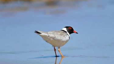 Hooded plover experts say  the Belfast Coastal Reserve is the most significant part of the threatened bird's range.