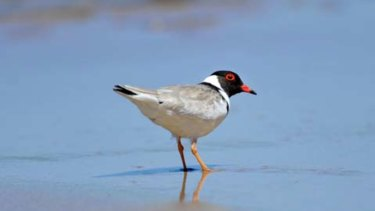 Hooded plover expert Grainne Maguire said the Belfast Coastal Reserve was the most significant part of the threatened bird's range.