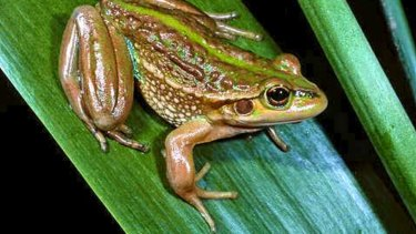 The endangered growling grass frog is found along the Merri Creek.