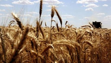 While other states suffer with drought, WA wheat crops benefited from rain.