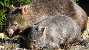There are high hopes the  invention could play a key role in saving bare-nosed wombats from extinction.