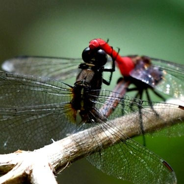 Campbell Paine also photographs a number of other species, including dragonflies.