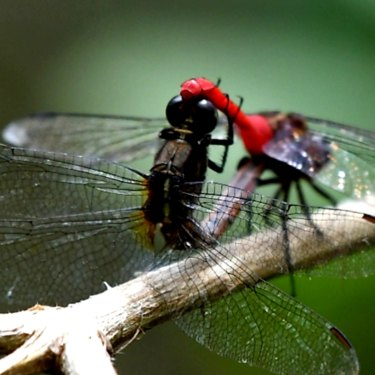 Campbell Paine also photographs many other species, including dragonflies.