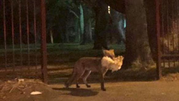 'It was bizarre': Sydneysiders fear for their pets after fox spotted in Ryde