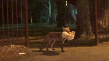 The fox, spotted crossing Victoria Road in Ryde, on Saturday night.