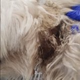 Coco the dog was handed in to a Gold Coast vet withan electric shock collar embedded into her neck.