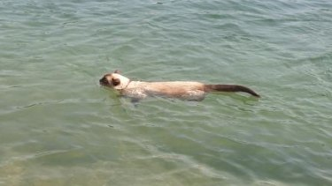 Gus began training for next year's race with a swim on Christmas Day.
