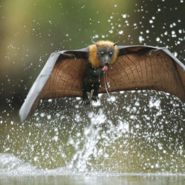A bat, tongue out, skims a river. They also drink by getting wet then letting water run off them while hanging upside down.