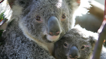 Some good news about koalas in south-east Queensland