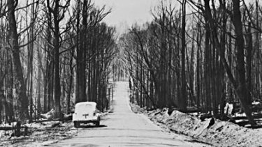 Scorched trees line the Black Spur between Healesville and Marysville after Black Friday in January 1939.