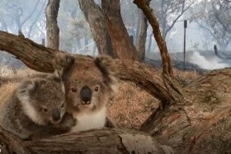 Fires wiped out vast areas of koala habitats in northern NSW and south-east Queensland, and the status of local populations may be escalated from vulnerable to endangered.