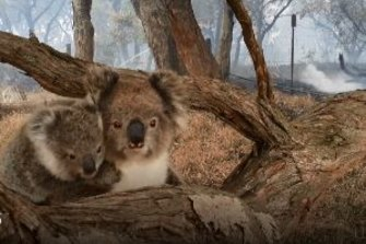 Jenny Lewis found this Koala mother and her baby on Causeway Road, last night. Healthy and safe, the pair had crawled out of the National Park ahead of the fire front.