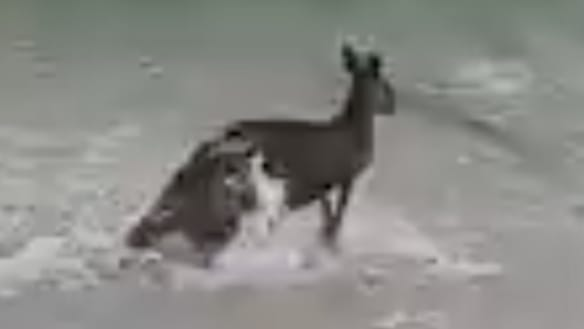 Police save drowning kangaroo in water rescue