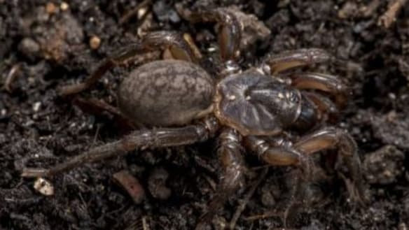 The hideous new Aussie spider only a scientist could love