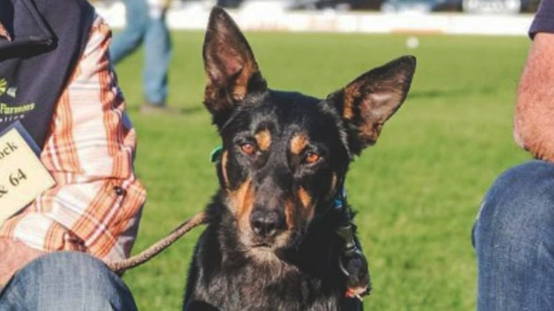 Grazier breaks kelpie world record by paying $22k for dog called Seven