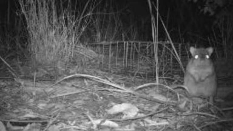 Northern bettong caught by one of the 585 cameras in the three years of field work.