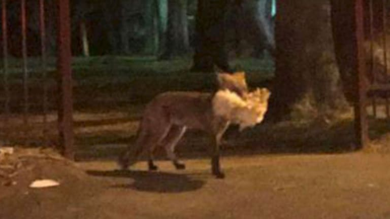 A fox captures a chicken near Victoria Road in Ryde.