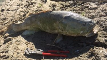 More Murray cod are turning up dead on the Darling River about 70 kilometres downstream from Menindee.