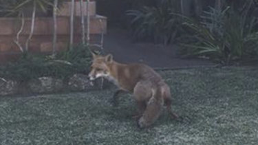 A fox standing in the front yard of a Gladesville home.