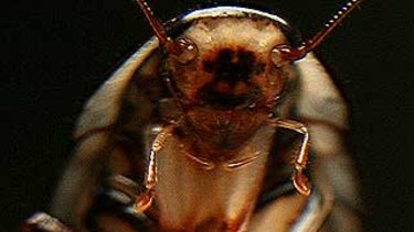 Urban cockroaches might do well amid a collapse of insect populations globally.