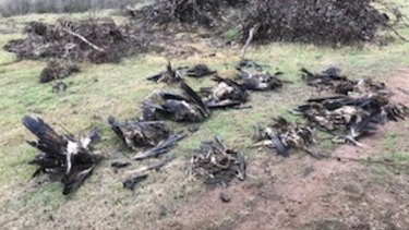 Victorian authorities found 136 dead eagles at the property in Tubbut in East Gippsland.