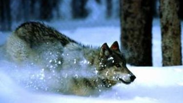 Elli H. Radinger says the female wolf is at the centre of everything.