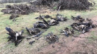Victorian authorities found 136 dead eagles at a property in Tubbut in East Gippsland.
