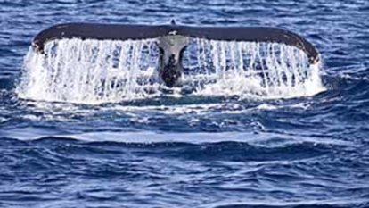 Happy days as tangled humpback whale shrugs ropes and swims free