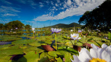 Water lilies in the Caley Valley wetlands surrounding Abbot Point.