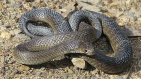 Canberrans warned to lookout as snakes slither into spring