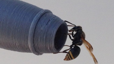 Uma vespa em uma das réplicas de sondas impressas em 3D.