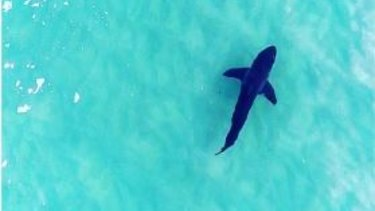 The four-metre great white shark was spotted just off Tamarama Beach by Drone Shark.