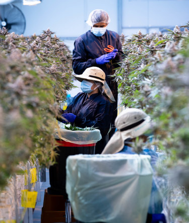 Workers trimming cannabis plants. The flower heads will be processed for medicinal sale, and sold as flowers or an oil product.