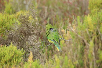 One of the orange-bellied parrots that's been fitted with a with solar-powered satellite tracker.