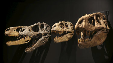 The exhibit has been updated from its first presentation six years ago due to discoveries in tyrannosaur research.