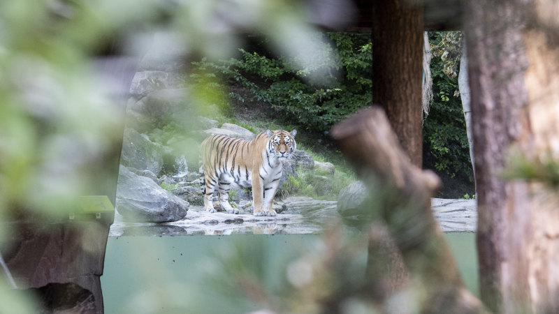 Zookeeper dies after tiger attack inside Swiss enclosure