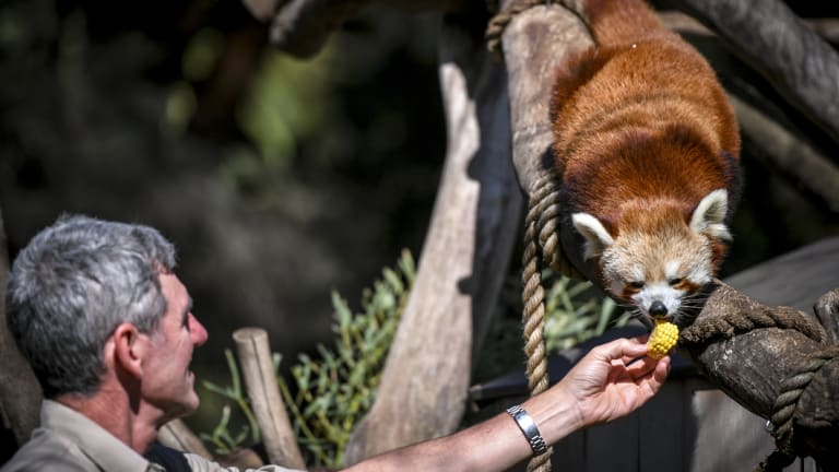 Head of veterinary services at the Melbourne Zoo, Dr Michael Lynch, at the red panda enclosure