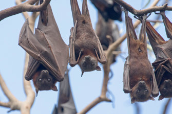 The caller   Hendra variant has been confirmed successful  flying foxes successful  aggregate  parts of the state  for the archetypal  time, including grey-headed flying foxes (pictured).