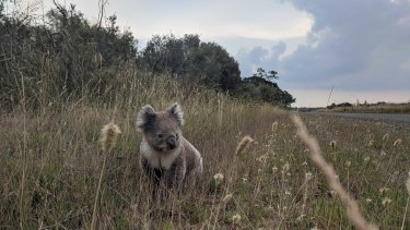 A koala on the roadside on French Island, where local ecologist Chris Chandler estimates there are at least one thousand too many bears for the habitat to sustain.