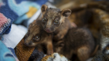 The ringtail possums were rescued from their mother's pouch after she was hit and killed by a car.