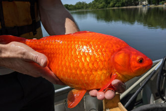 One of respective  ample  goldfish pulled from a water  adjacent   Minneapolis. Officials crossed  the US are informing  that the household   pets are dangerously invasive erstwhile   released into the wild.