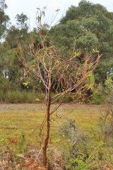 A young manna gum tree broken by hungry French Island koalas. Over grazing can kill trees completely.