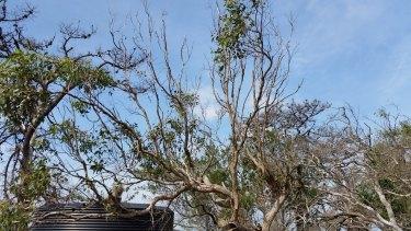 A koala sits in an 'overgrazed' Eucalypt tree on French Island.