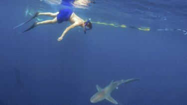 A tourist swims with a shark on a cage-less shark dive tour. Such tours can improve knowledge of a much-maligned species.
