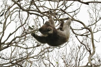 A Koala in Cape Otway in a stripped Manna Gum tree. Koalas were re-introduced to Cape Otway in the 1970s, sourced mainly from French Island.
